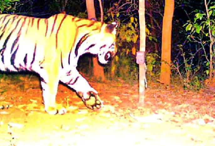 Tiger terror in 13 villages for 15 days   १३ गावांत १५ दिवसांपासून वाघाची दहशत