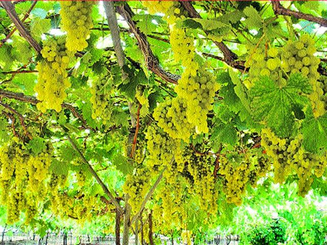 Extending the registration period for the export of grapes   द्राक्ष निर्यातीसाठी बागा नोंदणीच्या मुदतीत वाढ