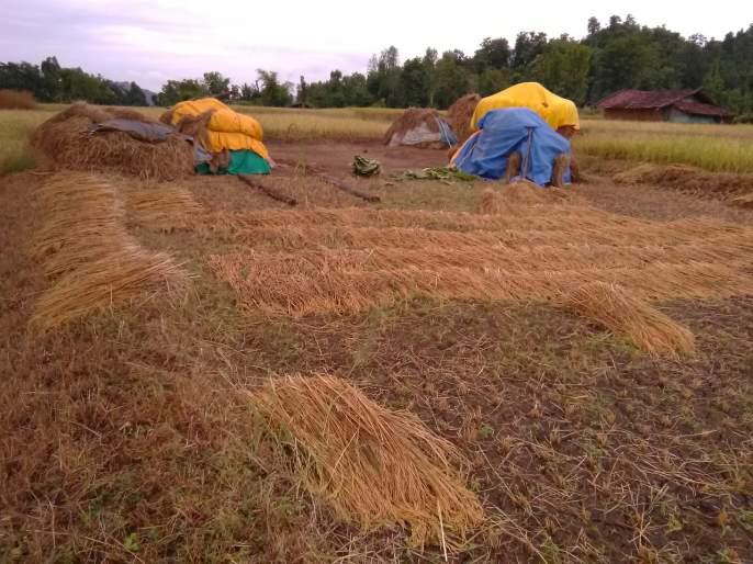 Loss of paddy due to return rains   परतीच्या पावसाने भातपिकाचे नुकसान