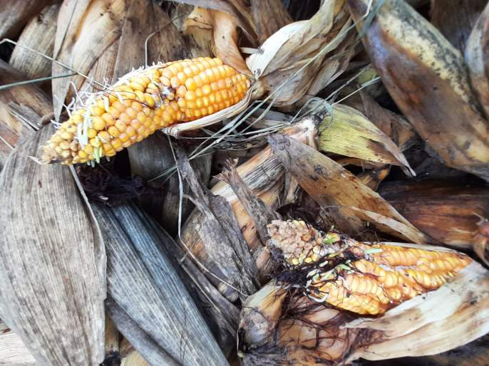 The buckwheat shoots with corn were sown on the field | मक्यासह बाजरीच्या कणसांना शेतातच फुटले कोंब