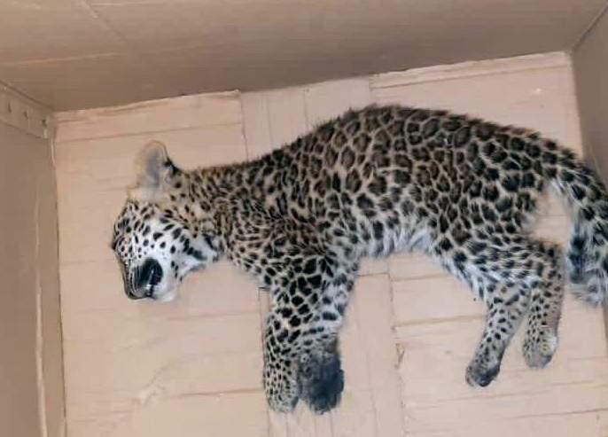 Leopard calf killed in accident | अपघातात बिबट्याचा बछडा ठार