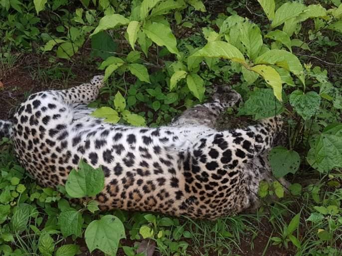 Dying in a dead body in Igatpuri taluka | इगतपुरी तालुक्यात बिबट्या मृतावस्थेत