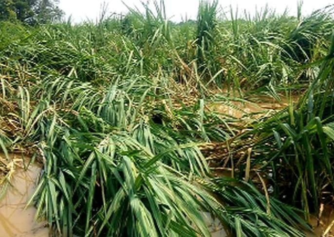 Farmers 'hard work' in water due to rains | पावसामुळे शेतकऱ्यांची 'मेहनत' पाण्यात