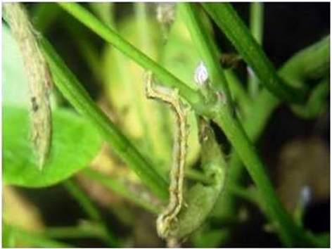 Infestation of pests on cotton, soybean crop in Parbhani district | परभणी जिल्ह्यात कापूस, सोयाबीन पिकावर किडीचा प्रादुर्भाव
