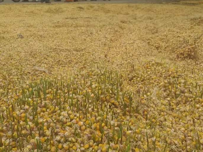 In Chalisgaon taluka, a huge loss of farmland was done on time   चाळीसगाव तालुक्यात अवकाळी माऱ्याने शेतमालाचे मोठे नुकसान
