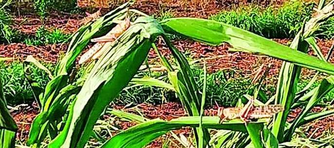 Locusts in Morshi, Warud, Melghat | मोर्शी, वरूड, मेळघाटात 'टोळधाड'