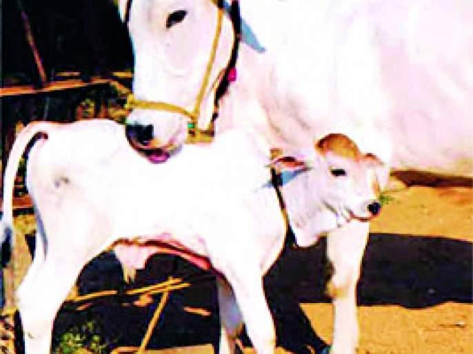 Selection of 299 villages to increase milk production | दुग्ध उत्पादन वाढीसाठी २१९ गावांची निवड