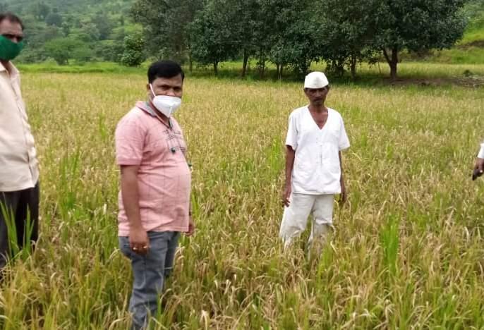 Demand for immediate panchnama of paddy fields damaged due to outbreak of taxa   करपा रोगाच्या प्रादुर्भावाने नुकसान झालेल्या भातशेतीचे त्वरित पंचनामे करण्याची मागणी
