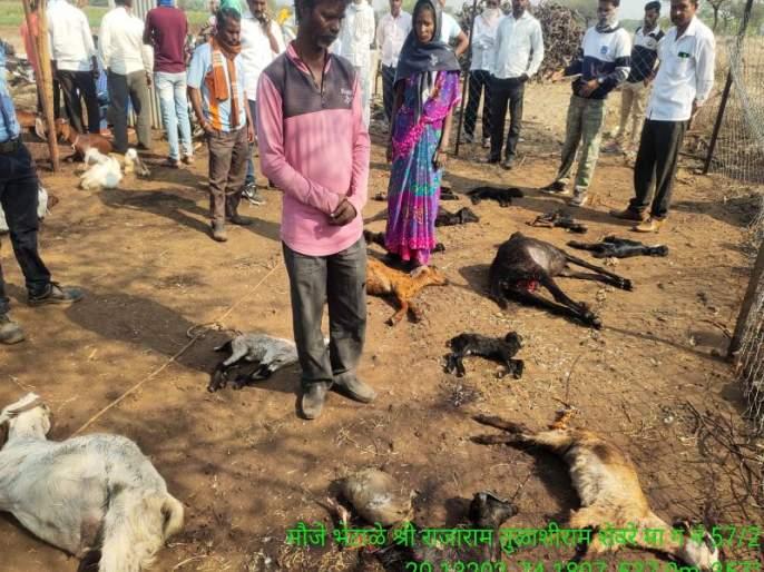 Eight injured: wolves hunt 14 goats | आठ जखमी : लांडग्यांच्या टोळीने केली १४ शेळ्यांची शिकार