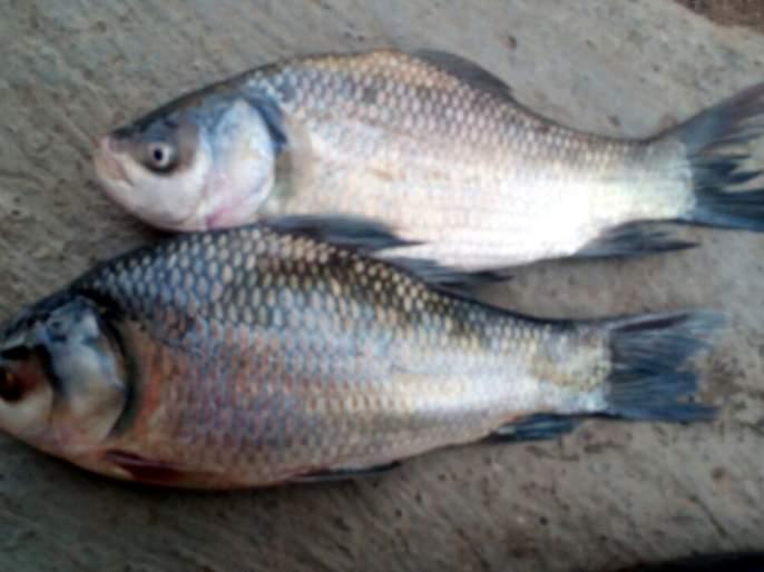 Parbhani: Fisheries business threatened in Yeldari dam   परभणी : येलदरी धरणातील मत्स्य व्यवसाय धोक्यात