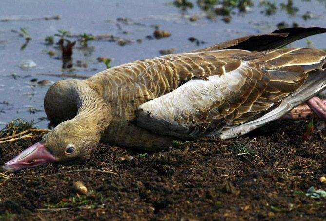 Exotic birds die in Sringarbandh lake in Gondia district   गोंदियाजिल्ह्यातील शृंगारबांध तलावात विदेशी पक्ष्यांचा मृत्यू