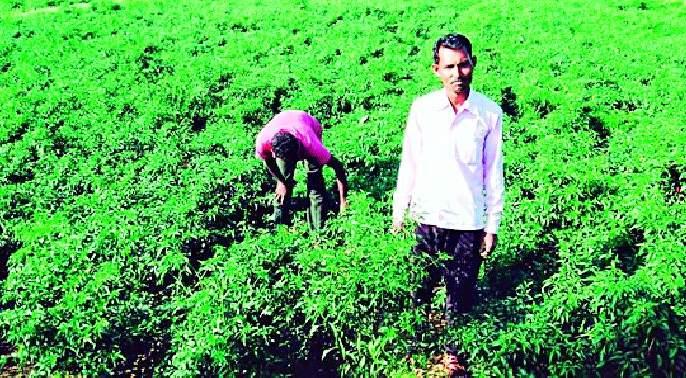 Net profit of one lakh per acre of chilli crop | एक एकरातील मिरची पिकात एक लाखांचा निव्वळ नफा