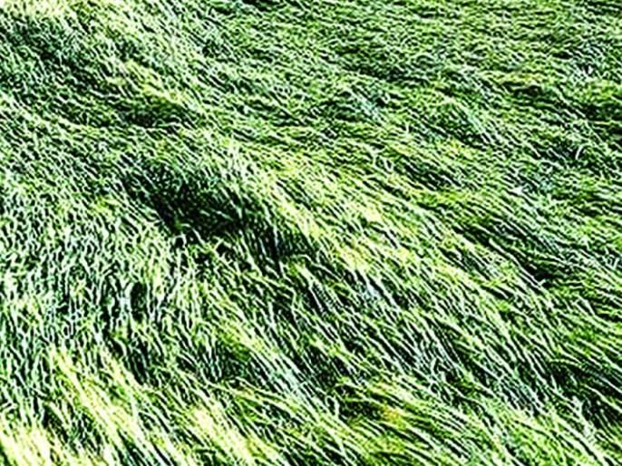 Buldana: 1500 hectares of crop damage due to unseasonal rains | बुलडाणा: अवकाळी पावसामुळे १५०० हेक्टरवरील पिकांचे नुकसान