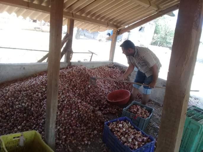 The new summer onion began to rot | मानोरीत नवीन उन्हाळ कांदा सडण्यास सुरुवात