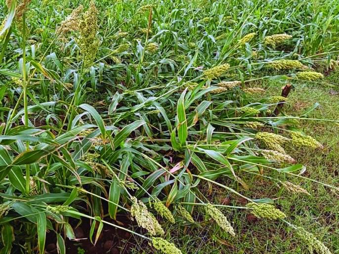 Washim: Already 'locked down', unseasonal rain hit agriculture | वाशिम: आधीच 'लॉक डाऊन' त्यात अवकाळीचा फटका
