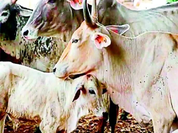94.98 per cent cows were vaccinated against Goat Fox   ९४.९८ टक्के गोवंशांना दिली 'गोट फॉक्स' लस