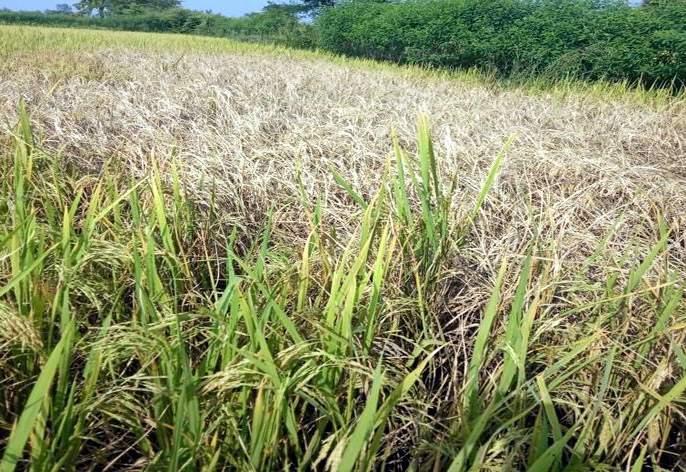 12,500 farmers in Bhandara district in trouble   भंडारा जिल्ह्यातील१२ हजार ५०० शेतकरी तुडतुड्याने संकटात