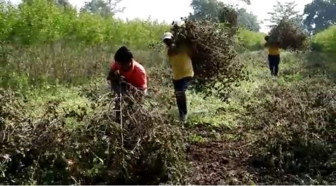 In Yavatmal district only 40% cotton is in the hands of farmers   यवतमाळ जिल्ह्यात केवळ ४० टक्के कापूस शेतकऱ्यांच्या हाती