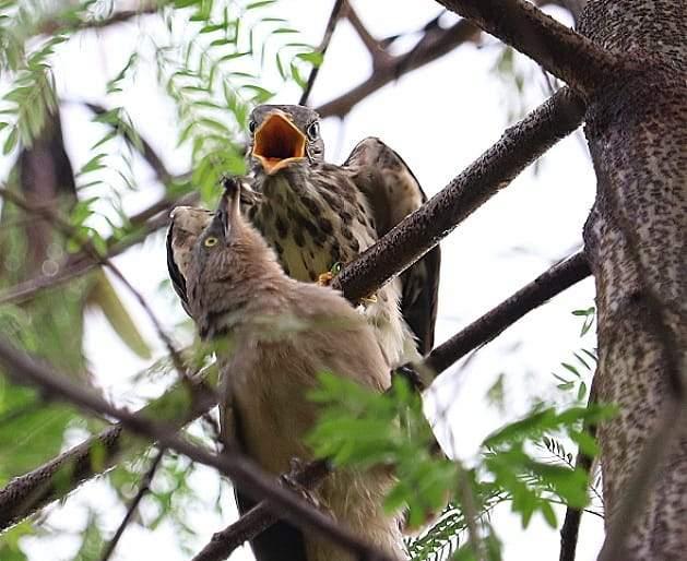 Satbhai raised Pavsha chicks | सातभाईने केले पावशा पक्ष्याच्या पिल्लाचे पालनपोषण