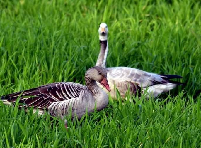 Eco-festival: Three species of goose visit Akola | पर्यावरणोत्सव : तीन प्रजातीच्या हंसांची अकोल्याला भेट