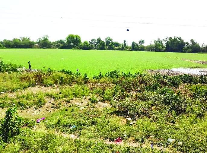 Historic lakes in danger due to water hyacinth!   जलपर्णीमुळे ऐतिहासिक तलाव धोक्यात!