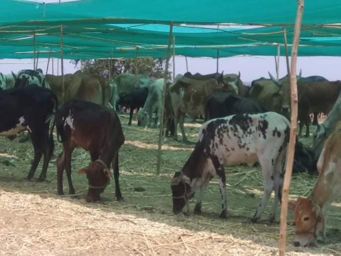 The concern of the cattle traders over the fodder camp | राजुरातील चारा छावणीने पशुपालकांची चिंता मिटली
