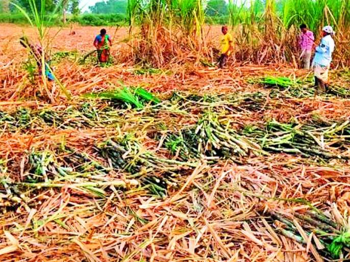 The area under sugarcane cultivation in the district has increased by one thousand hectares this year | जिल्ह्यात उसाचे लागवड क्षेत्र यंदा एक हजार हेक्टरने वाढले