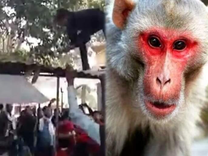 Monkey loot four lakh from elderly man and started throwing currency | VIDEO : माकड चार लाख रूपये असलेली बॅग घेऊन पळालं अन् झाडावरून पैशांचा पाऊस पाडू लागलं.....