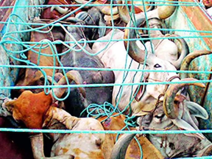 19 animals rescued by slaughterhouses   कत्तलीस जाणाऱ्या १९ जनावरांची सुटका