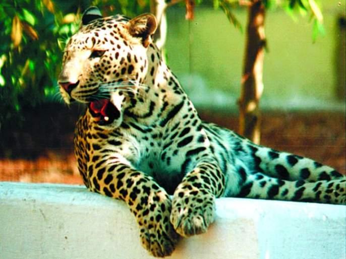 Cages are planted in Nagpur to capture leopard | नागपुरात बिबट्याला पकडण्यासाठी लावले जाताहेत पिंजरे