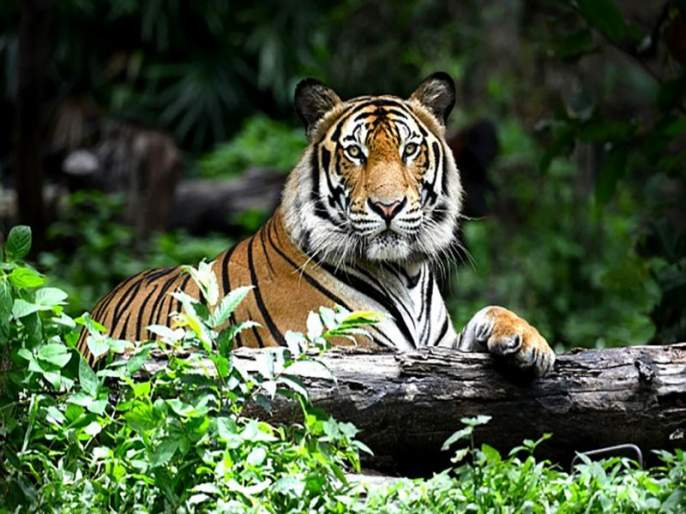 Goa-Karnataka border suitable for tiger conservation? | गोवा-कर्नाटकच्या सीमेवर वाघ संवर्धनास अनुकूलता?
