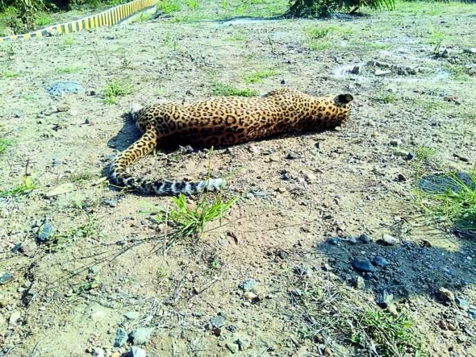Leopard Killed in Vehicle dashed: Incident in Harnakund Shivnar | वाहनाच्या धडकेत बिबट ठार : हरणाकुंड शिवारातील घटना