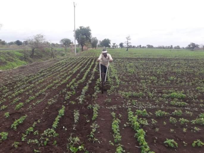 Sweeping work in Asegaon area   आसेगाव परिसरात डवरणीच्या कामांना वेग