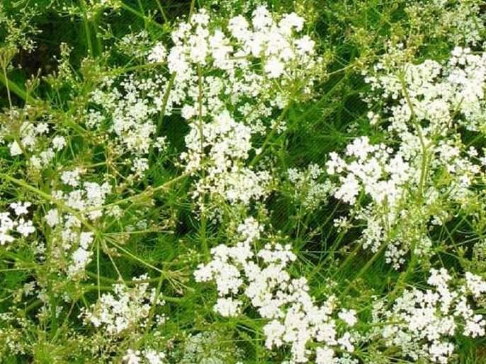 Emphasis on ajwain crop in Vidarbha; soving over three thousand hectares | विदर्भात ओवा लागवडीवर भर; तीन हजार हेक्टरवर ओवा