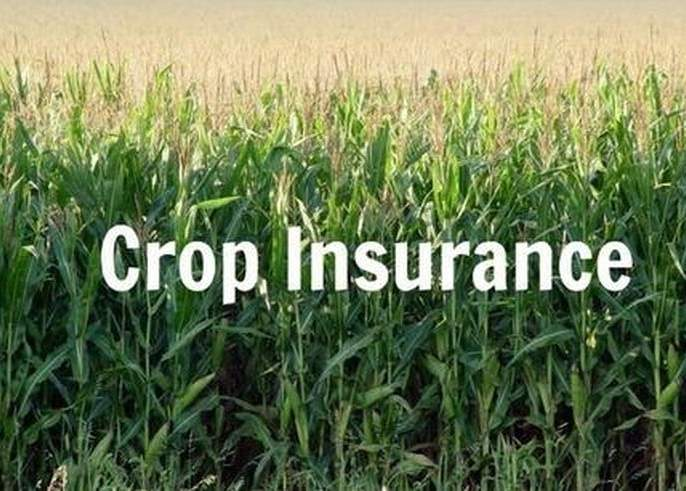 exclude from the benefit of crop insurance   पीक विम्याच्या लाभातून कुरणखेड महसूल मंडळाला वगळले!