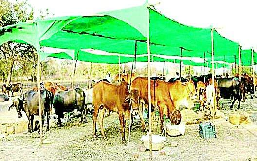 Why are there no fodder in Nagpur district? | नागपूर जिल्ह्यात चारा छावण्या का नाहीत?