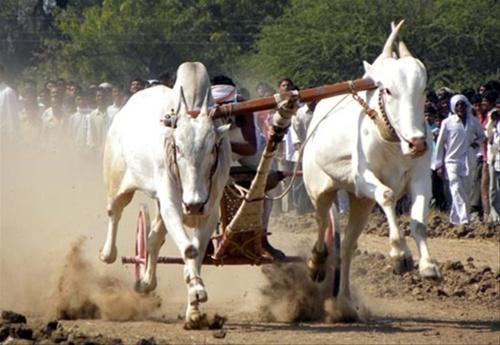 Unauthorized bouts of bulls, organizers, bull owners and some others | बैलांच्या अनधिकृत झुंजी,आयोजक, बैल मालक व अन्य काही जणांवर गुन्हे दाखल