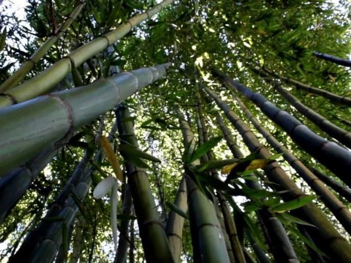 Wildlife Department has used 1.5 crores 'seed ball' in the forest, and the use of bamboo seeds | वन्यजीव विभागाने जंगलात सोडले दीड कोटी 'सीड बॉल',बांबूचे बी रुजविण्याचा प्रयोग