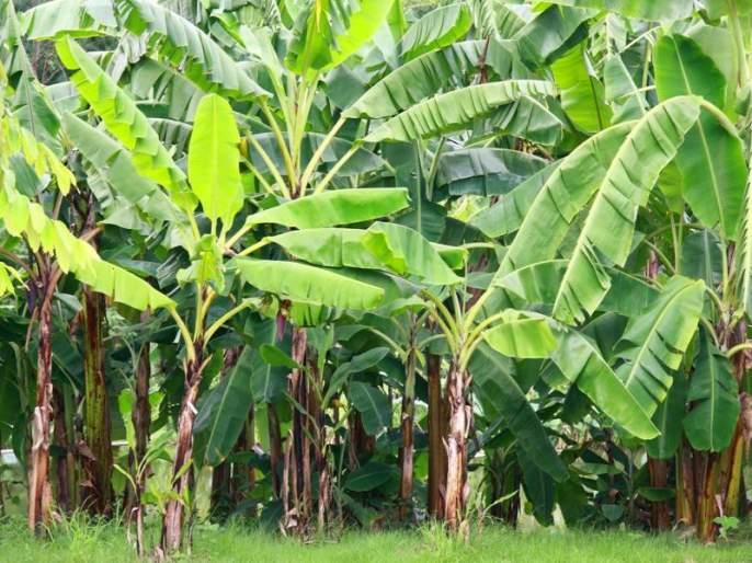 4 farmers producing companies set up for banana export   केळी निर्यातीसाठी स्थापणार १० शेतकरी उत्पादक कंपन्या