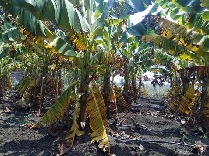 Banana Agar Research Center neglected | केळीच्या आगारात संशोधन केंद्र उपेक्षित
