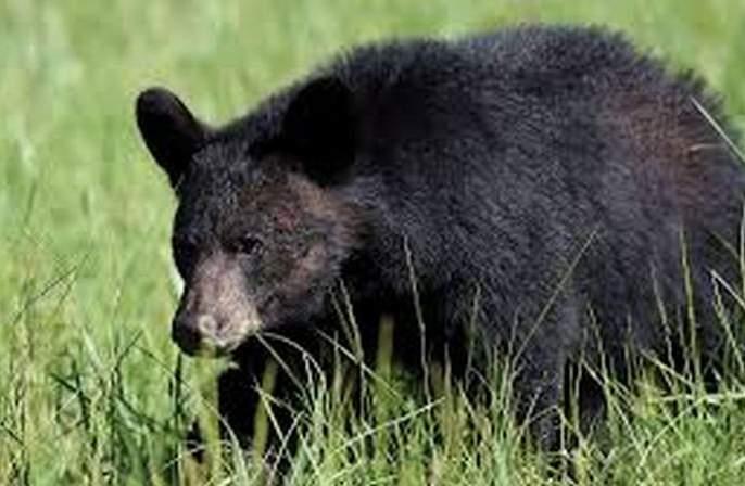 Farmer injured in bear attack in Buldhana District | अस्वलाच्या हल्ल्यात शेतमजूर जखमी