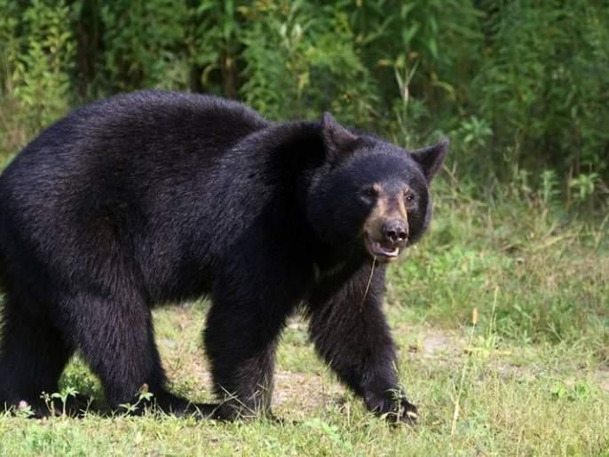 In the bear attack, the young farmer's eyes were lost in Nanaded | अस्वलाच्या हल्ल्यातयुवा शेतकऱ्याचे दोन्ही डोळे निकामी