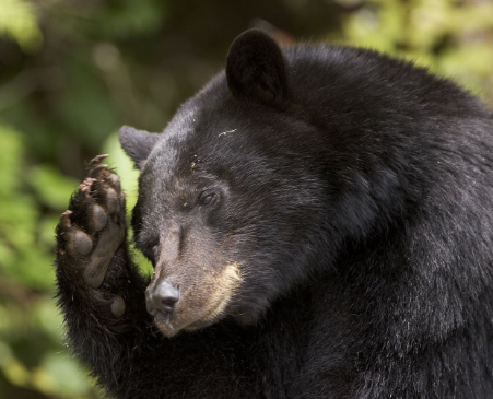 At the time of counting the three bears' eyes | गणनेच्या वेळी तीन अस्वलांचे दर्शन