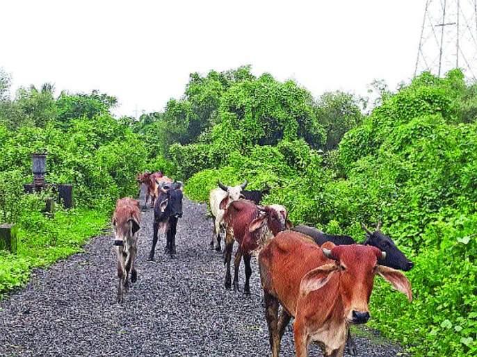 No plots were found in the city for cattle breeding | गोवंश संवर्धनासाठी शहरात भूखंड मिळेना