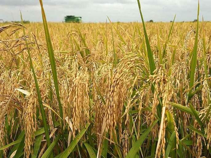Farmers suffer due to paddy procurement center; Time to sell rice to low-cost traders | भात खरेदी केंद्राअभावी शेतकरी त्रस्त; कमी दरात व्यापाऱ्यांना भात विकण्याची वेळ