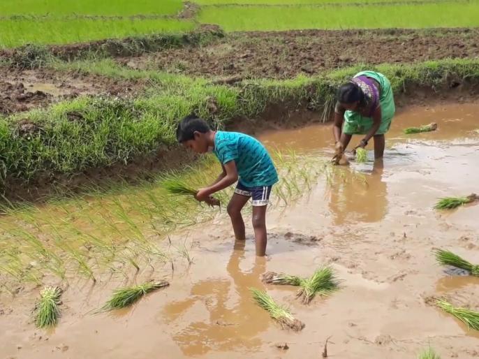 Sindhudurg: Lack of paddy crop due to fall in rain, the farmers are in full swing   सिंधुदुर्ग : परतीच्या पावसाने भातशेतीचे नुकसान, शेतकरी पुरते संकटात
