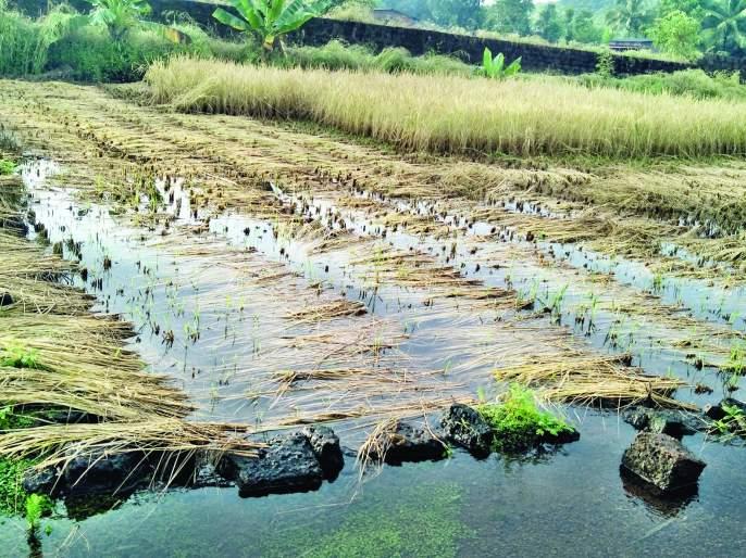 Farmers still in crisis due to return rains | परतीच्या पावसाने शेतकरी अजून संकटात-गुहागर -आबलोलीत भातशेतीचे नुकसान