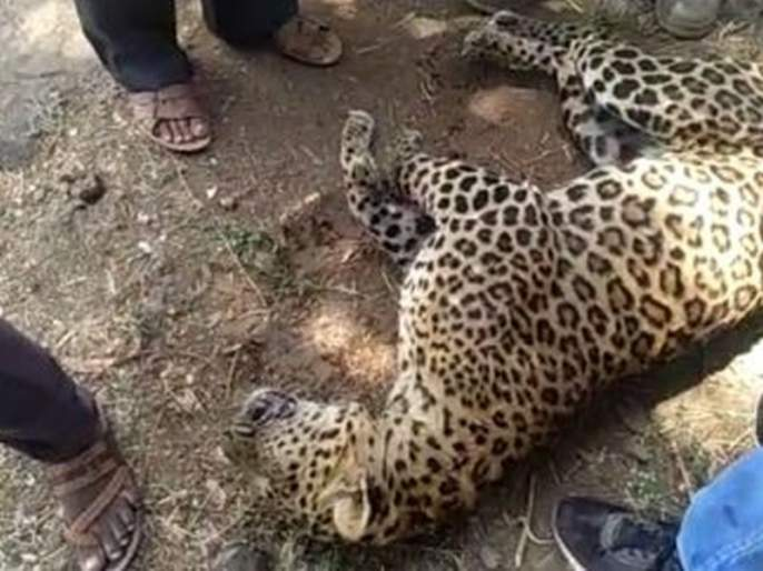 The leopard died in forests by accident and forest department done last rite | वाहनाच्या धडकेत बिबट्या ठार, वनविभागाकडून अंत्यविधी