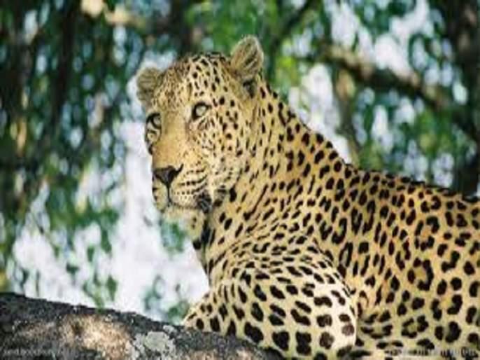 Child killed in leopard attack; Sensation in Pathardi with the death of two children in the same week | बिबट्याच्या हल्ल्यात मुलाचा मृत्यू ; एकाच आठवड्यात दोन मुलांच्या मृत्यूने पाथर्डीत खळबळ