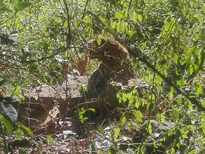 Pesticide attack on goats, incidents in Nandlapur   भरवस्तीत शेळ्यांवर बिबट्याचा हल्ला, नांदलापुरात घटना